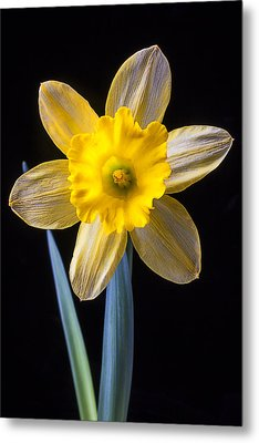 Yellow Daffodil Metal Print by Garry Gay
