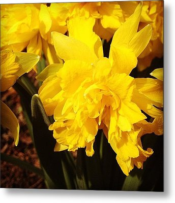 Yellow Daffodils Metal Print by Christy Beckwith