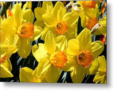 Yellow Daffodils Metal Print by Menachem Ganon