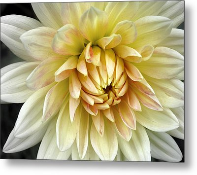 Metal Print featuring the photograph Yellow Dahlia by Janice Drew