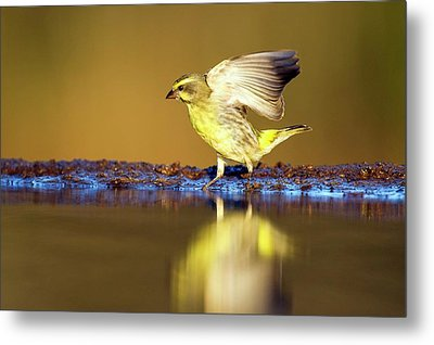 Yellow-eyed Canary Landing At Water Metal Print by Peter Chadwick