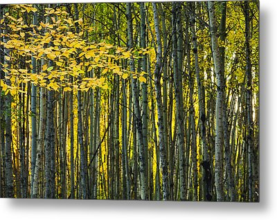 Yellow Fall Birch Leaves Against An Metal Print by Joel Koop