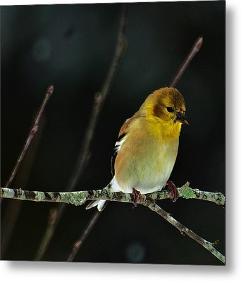 Metal Print featuring the photograph Yellow Finery by John Harding