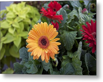 Yellow Flowers Metal Print by Jocelyne Choquette