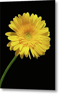 Yellow Gerber Daisy Metal Print by Joan Powell