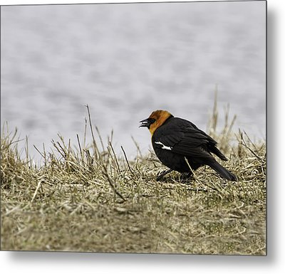 Yellow-headed Blackbird  1 Metal Print by Thomas Young