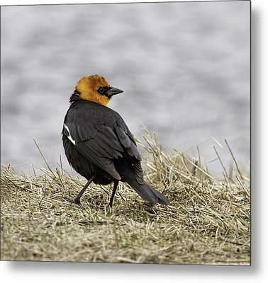 Yellow-headed Blackbird  3 Metal Print by Thomas Young