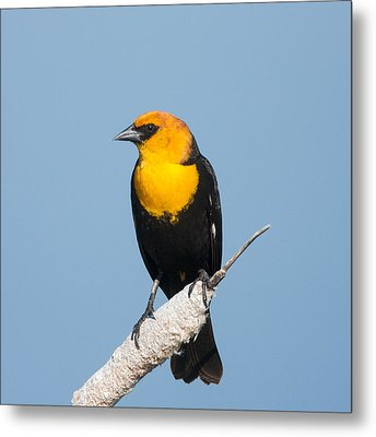 Metal Print featuring the photograph Yellow Headed Blackbird by Jack Bell