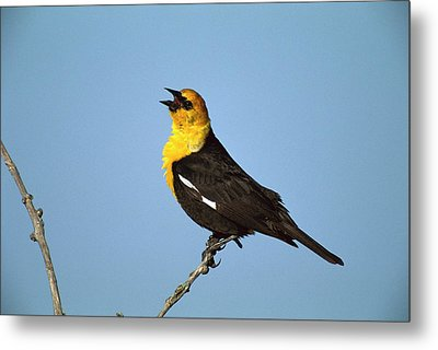 Yellow-headed Blackbird Singing Metal Print
