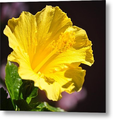 Yellow Hibiscus Open To The Sun Metal Print by Jay Milo