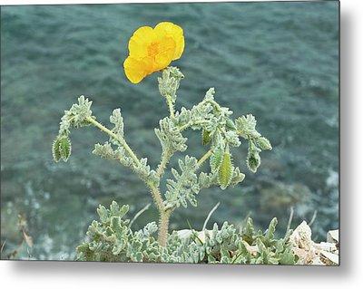 Yellow Horned Poppy (glaucium Flavum) Metal Print