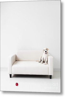 Yellow Lab In A White Room Metal Print