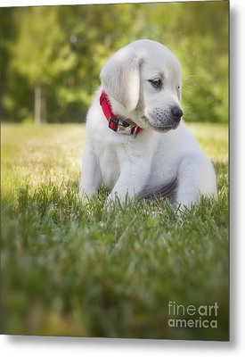 Yellow Lab Puppy In The Grass Metal Print