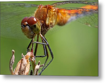 Yellow-legged Meadowhawk Dragonfly Metal Print by Juergen Roth