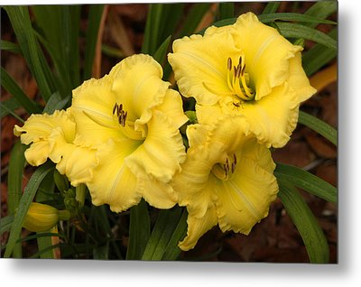 Yellow Lillies Metal Print