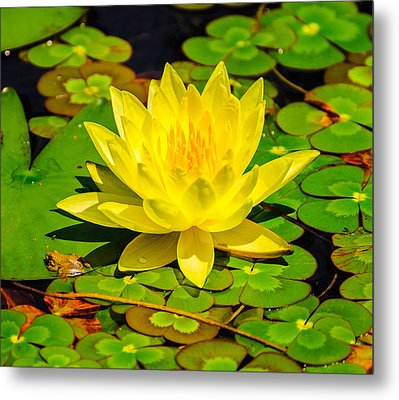 Metal Print featuring the photograph Yellow Lily by John Johnson