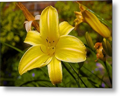 Yellow Lily Metal Print by Terry Horstman