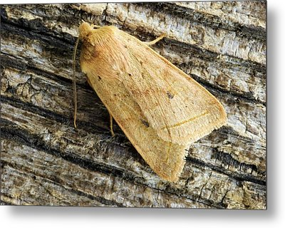 Yellow Line Quaker Moth Metal Print by David Aubrey