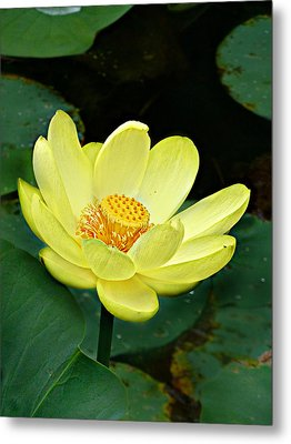 Metal Print featuring the photograph Yellow Lotus by William Tanneberger