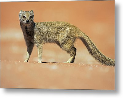 Yellow Mongoose In Kalahari Desert Metal Print by Heike Odermatt