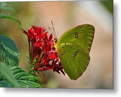 Metal Print featuring the photograph Yellow Moth by Kelly Nowak