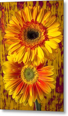 Yellow Mums Together Metal Print by Garry Gay