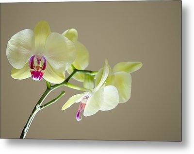 Yellow Orchids Metal Print by Ben Spencer