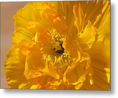 Yellow Poppy Metal Print by Bonita Hensley