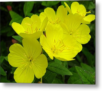 Yellow Primrose Metal Print