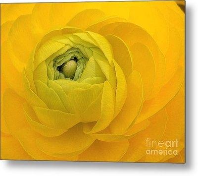 Yellow Ranunculus  Metal Print