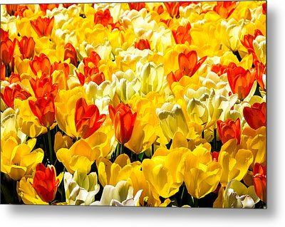 Yellow Red And White Tulips Metal Print by Menachem Ganon