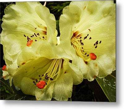 Yellow Rhodies Metal Print by Ronda Broatch