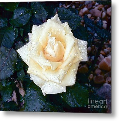 Metal Print featuring the photograph Yellow Rose At Dawn by Alys Caviness-Gober