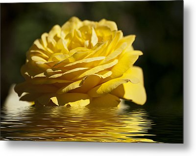 Yellow Rose Flood Metal Print by Steve Purnell
