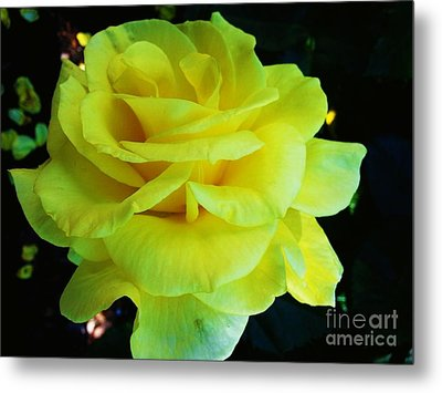 Yellow Rose Metal Print by Heather L Wright