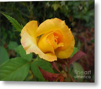 Yellow Rose Of Texas Metal Print by Eloise Schneider