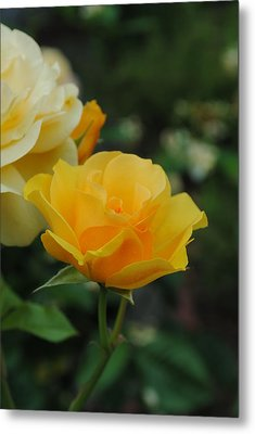 Yellow Rose Portland Metal Print by Robert  Moss