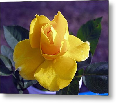 Yellow Rose Metal Print by Ronald Olivier