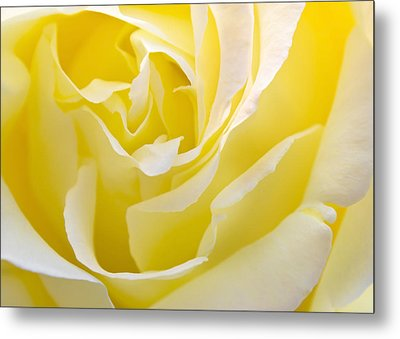 Yellow Rose Metal Print by Svetlana Sewell