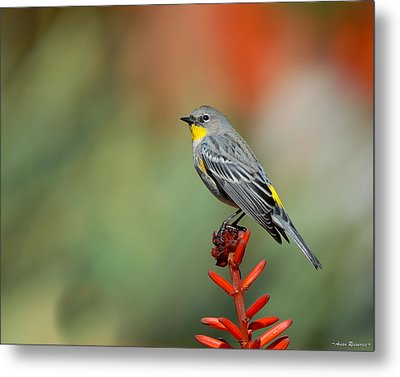 Metal Print featuring the photograph Yellow-rumped Warbler by Avian Resources