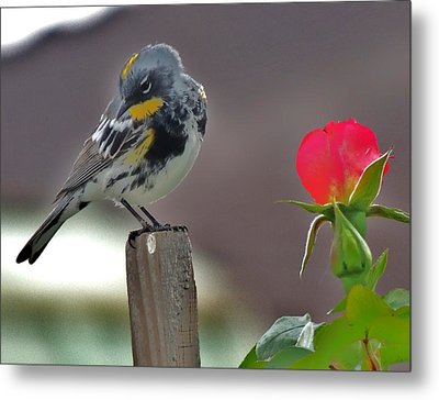 Yellow Rumped Warbler Metal Print by Helen Carson
