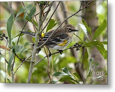 Yellow-rumped Warbler Metal Print by Jennifer Zelik