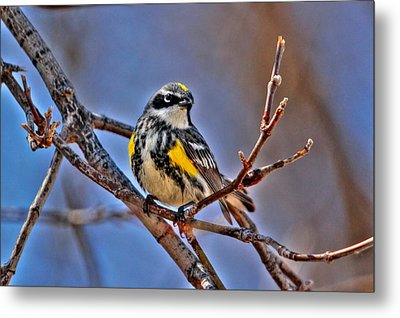 Yellow-rumped Warbler Metal Print by Larry Trupp