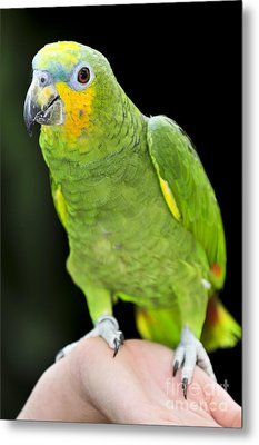 Yellow-shouldered Amazon Parrot Metal Print by Elena Elisseeva