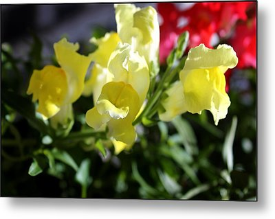 Yellow Snapdragons II Metal Print by Aya Murrells