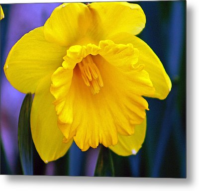 Metal Print featuring the photograph Yellow Spring Daffodil by Kay Novy
