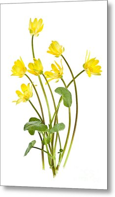 Yellow Spring Wild Flowers Marsh Marigolds Metal Print by Elena Elisseeva