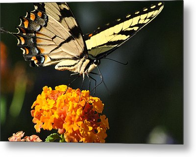 Metal Print featuring the photograph Yellow Swallowtail by Kelly Nowak