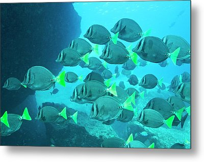 Yellow Tailed Surgeonfish Metal Print by Christopher Swann