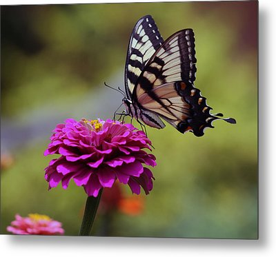 Yellow Tiger Swallowtail Butterfly Metal Print